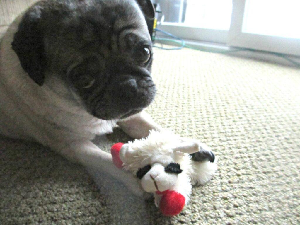 Pug with puppy dog eyes