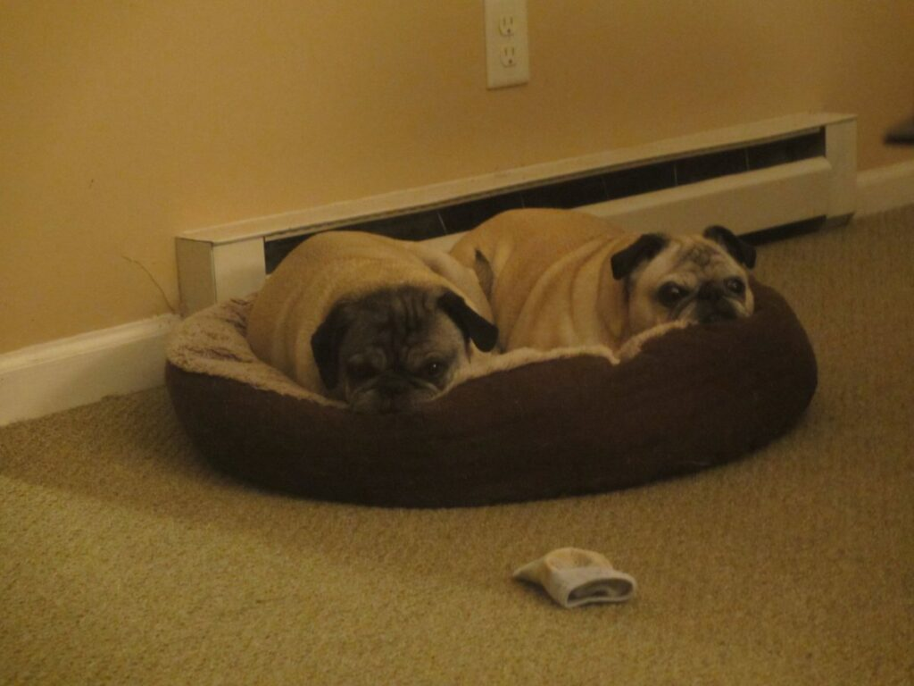 two pugs in a little bed