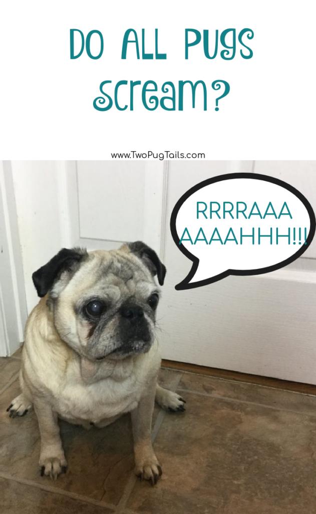 Do all pugs scream like humans?